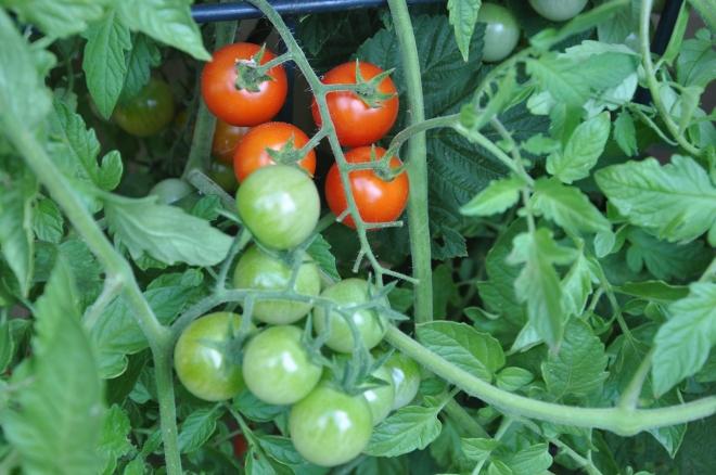 cherry tomatoes, self-seeded