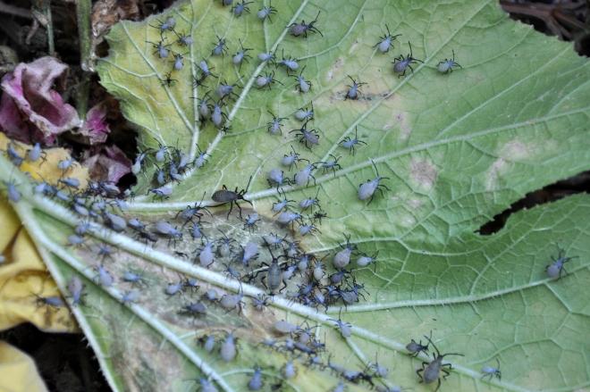removing squash bugs
