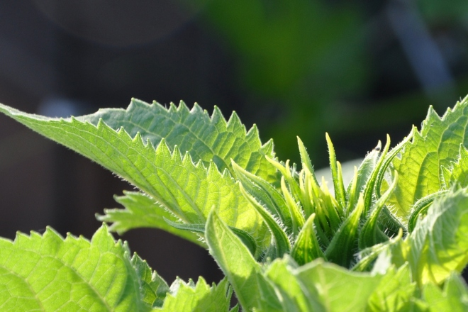sunflower leaves and bud