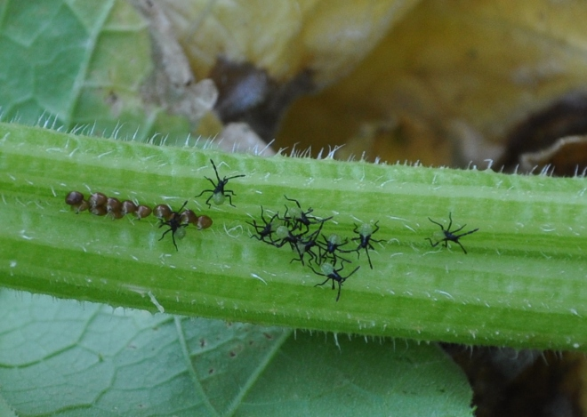 Freshly hatched squash nymphs