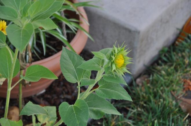 knee high sunflower