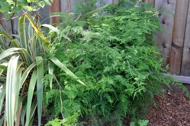 plumosa asparagus fern