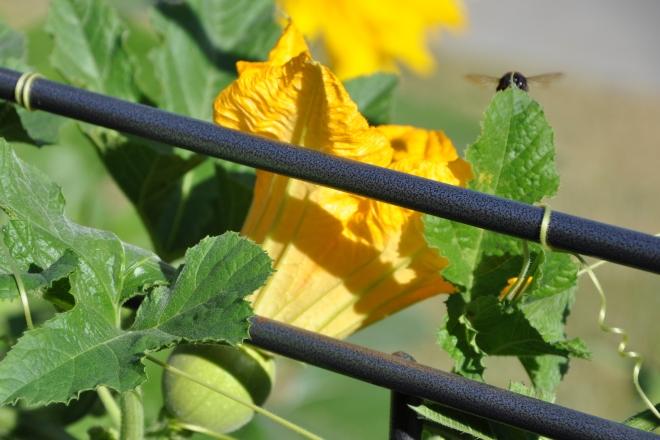 pumpkin female flower with bee