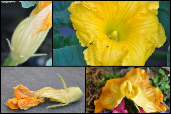 pumpkin flower progression