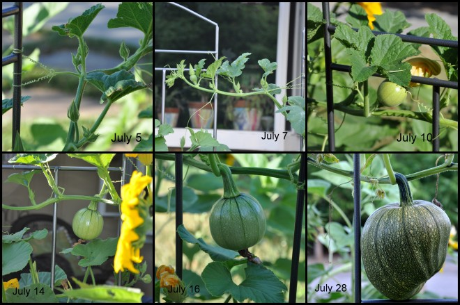 pumpkin progression july 2014