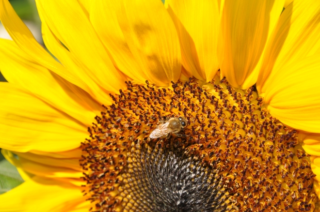 sunflower and yellow bee