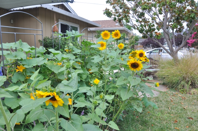sunflowers near walkway