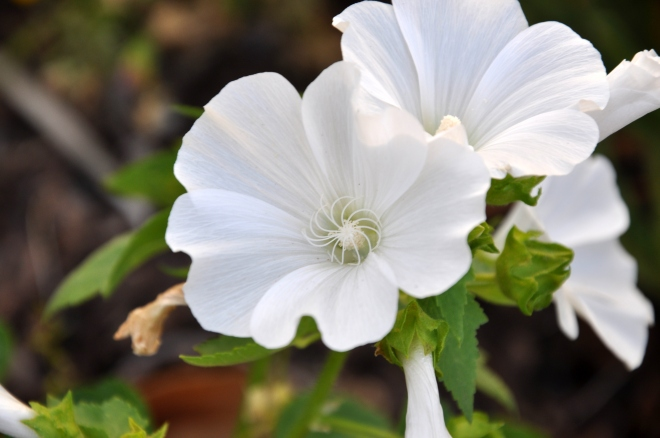 white flower annual