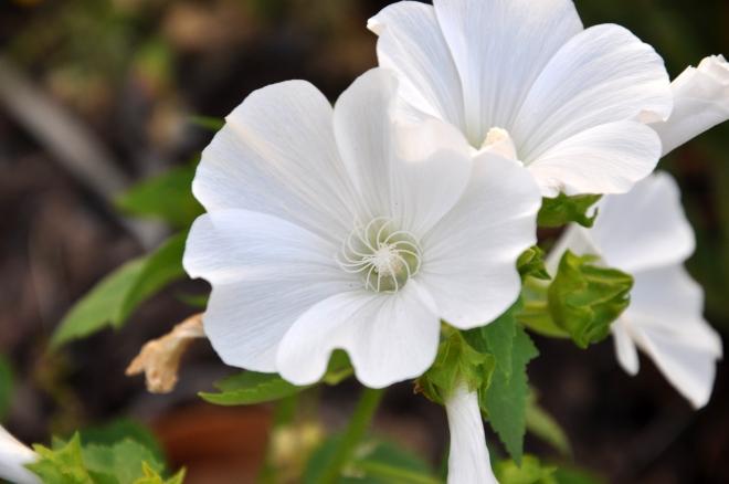 white flower annual