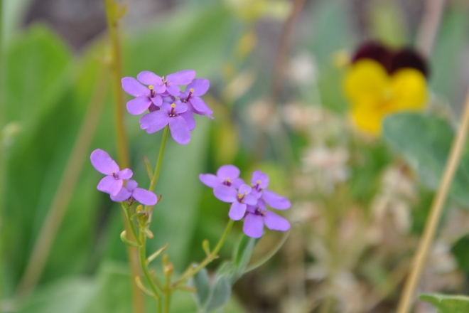 small purple flowers
