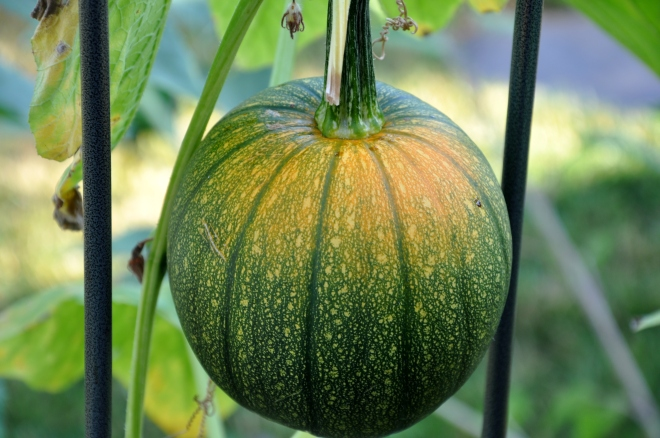 Precious Pumpkin No 1
