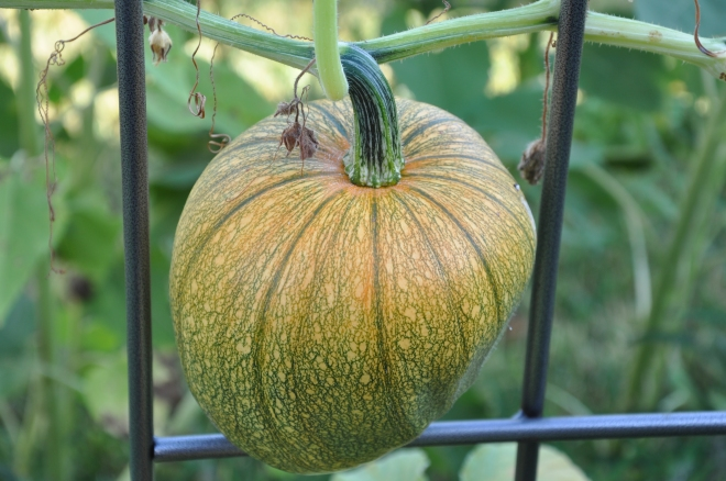 Precious Pumpkin No 2