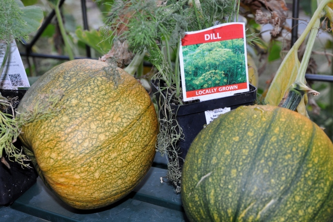 ripening pumpkins