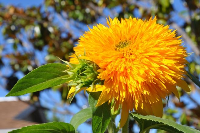 pom pom sunflower