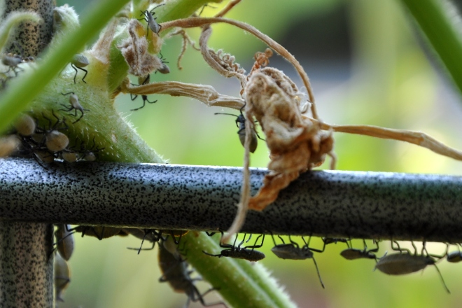 squash bugs on the trellis