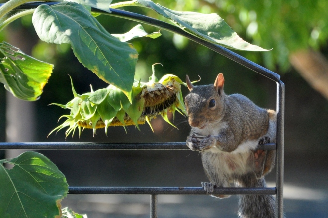 squirrel snacking on sunflowers front deck