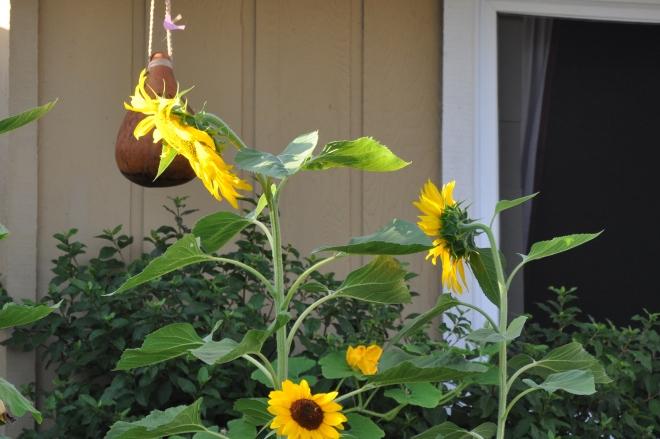 sunflower six feet