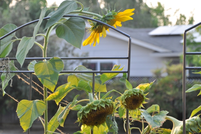 sunflowers going to seed