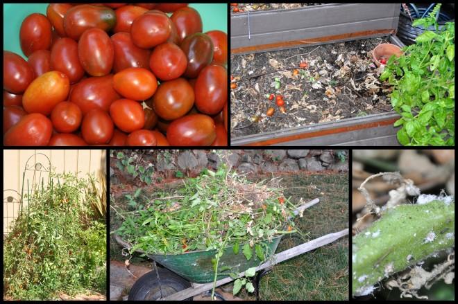 tomato plant collage