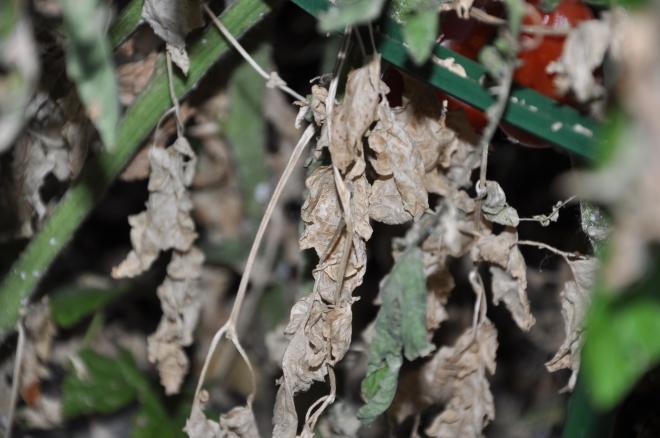 tomato plant in decline