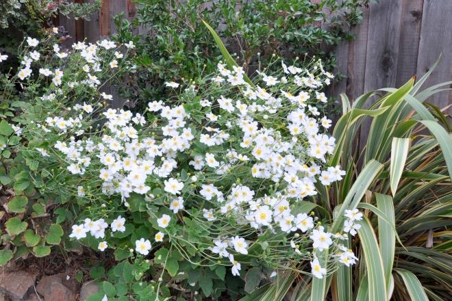 Japanese anemones (hupehensis var. japonica)