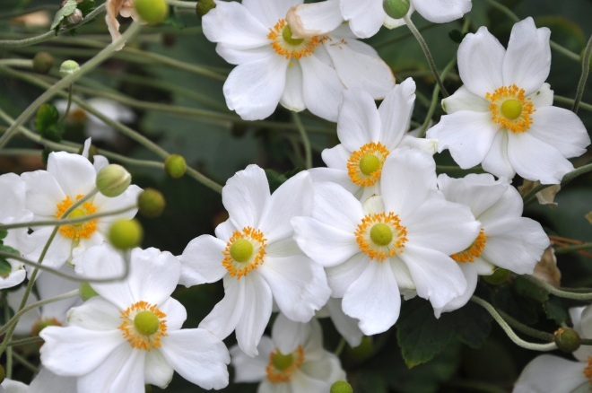 Japanese anemones up close