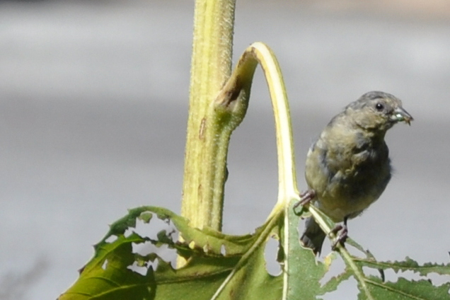 goldfinch eating sunflower leaf