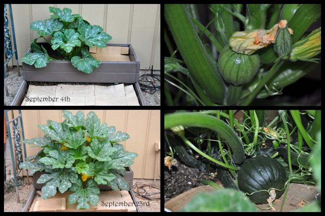 late season pumpkin plant growth