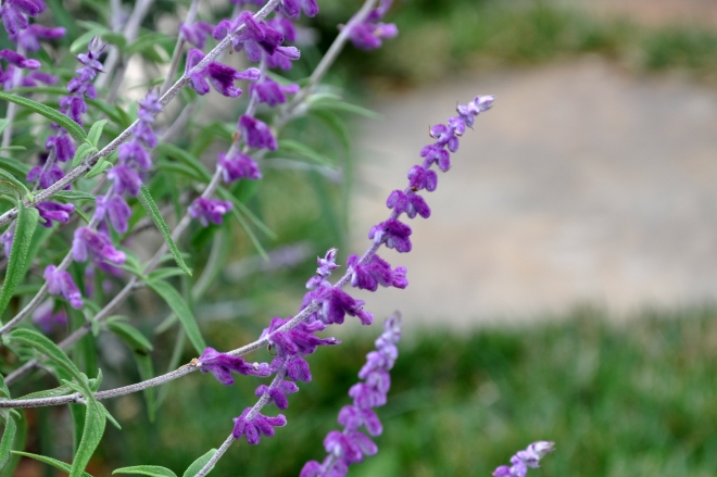 salvia closeup