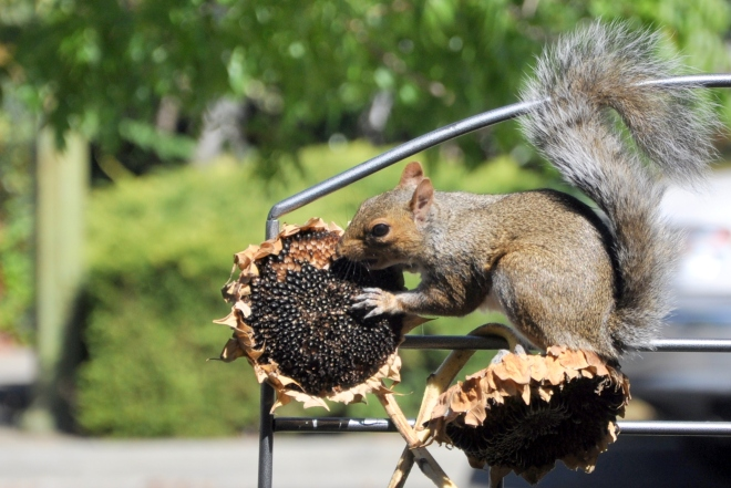 squirrel eating sunflowers