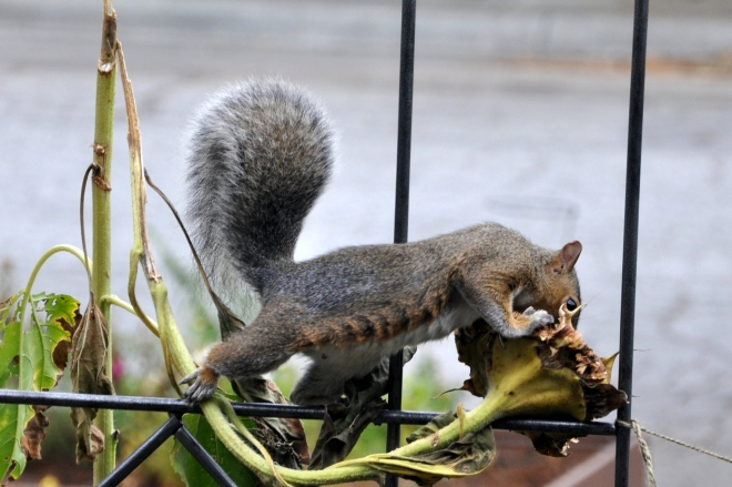 squirrel stretching to reach sunflower