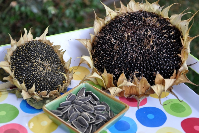 sunflower seeds and seed heads