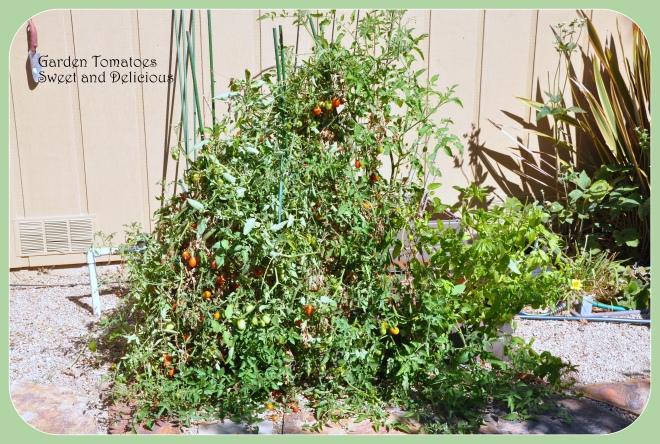 tomato long view