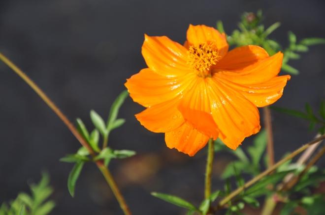 orange cosmo