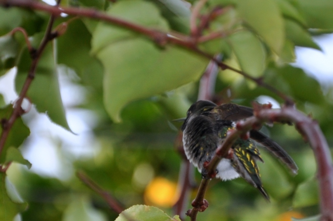 hummingbird scratching