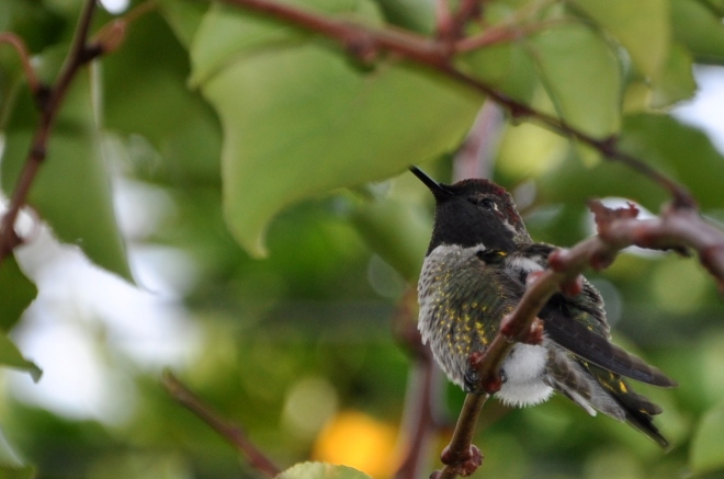 Anna's hummingbird at rest