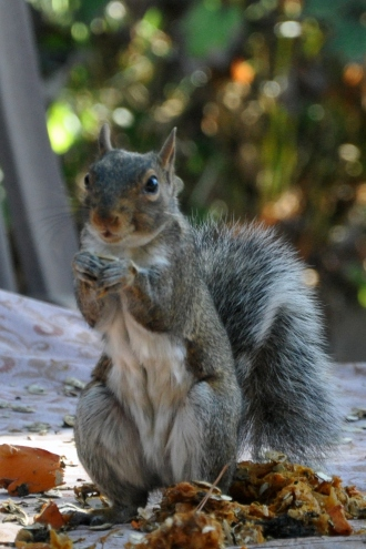 squirrel eating pumpkins
