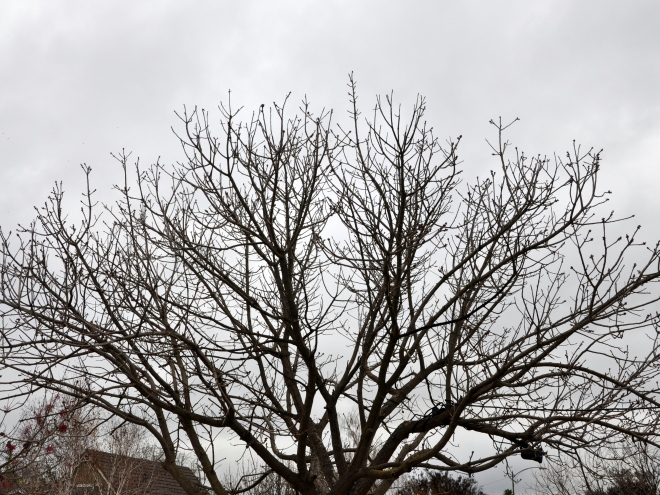 chinese pistache winter