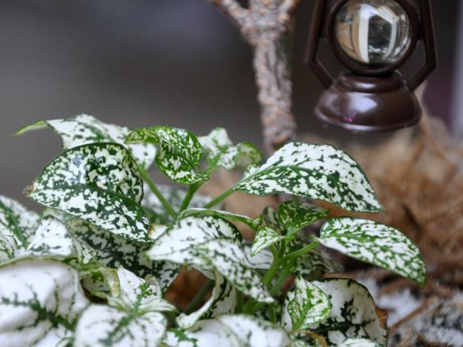 White 'polka dot' plant