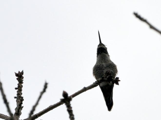 hummingbird in chinese pistache