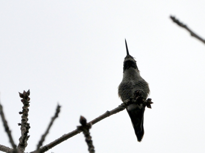 hummingbird in chinese pistache