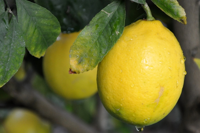 lemons after the rain
