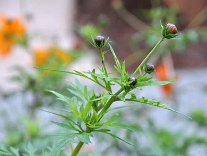 orange cosmos buds