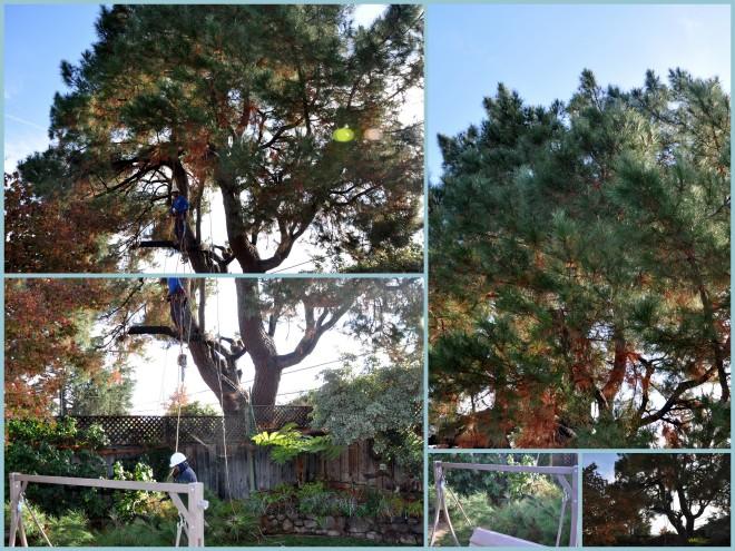 pine tree pruning