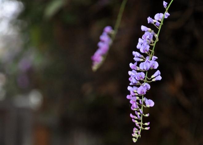 hardenbergia close up