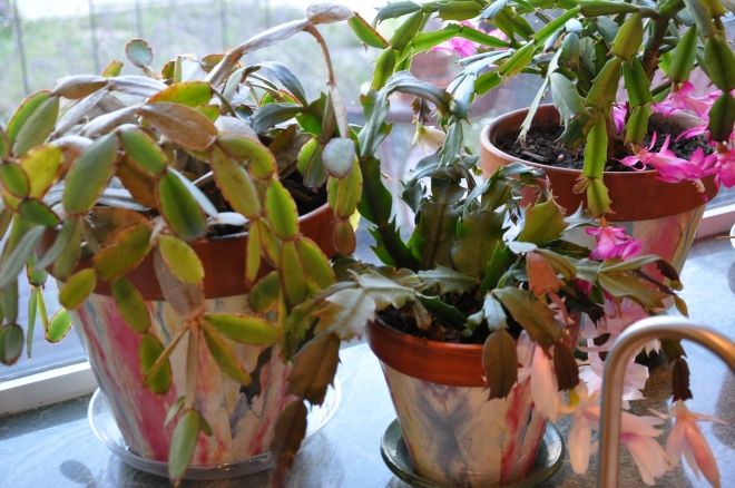 Easter Cactus, left; Pair of Christmas Cactus, right