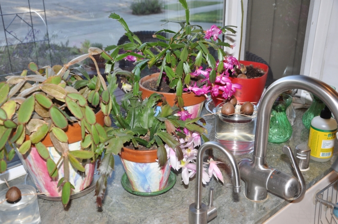 My Crowded Kitchen Windowsill