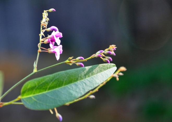 hardenbergia buds 1-29-2015 9-54-39 AM