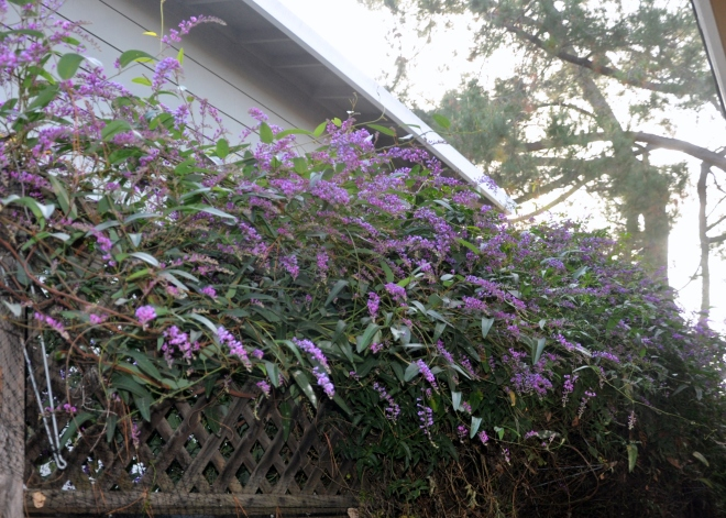 hardenbergia long view 1-29-2015 9-43-54 AM