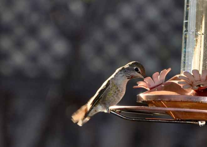 hummingbird at feeder jan 2015